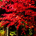 Red Leaf Maple (De-Shaw-Zhou) :出猩々(デショウジョウ)