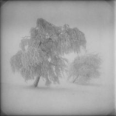 (xbacksteinx) Tags: hasselblad500cm 120 mediumformat analog zeiss100mmf35 planar 100mm kodak tmax400 bw blackwhite winter fog foggy tree trees snow snowy dark darkness mood moody grain grainy