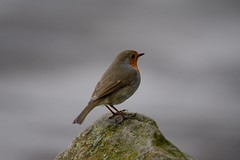 Robin (Pebbleheed) Tags: bird nature robin rock countryside spring nikon wildlife yorkshire tamron robinredbreast wildife tamron70300vc nikond7100