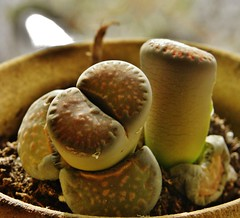 DSCN8919 Lithops come in many varieties (therovingeye) Tags: southafrica succulent lithop