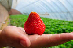 DSC_9858 () Tags: china strawberry beijing strawberries   pick  nikond90 tokinaaf1228mmf4