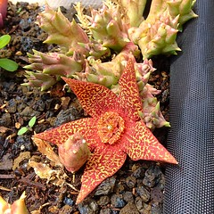 Huernia bloom3a (Rosa Say) Tags: asclepiadaceae carrionflower huernia orbeavariegata starfishcactus toadcactus stapeliarelative