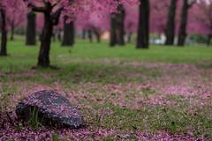 Lonely rock (Jing Soong) Tags: park new york city nyc rock cherry pentax f14 blossoms meadows queens corona sakura flushing k3 da55