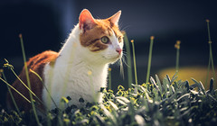 Playing in the Bushes (Bartfett) Tags: orange plants pet playing cute animal cat outside bush eyes kitten looking sweet tabby adorable kitty bushes