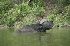 African Buffalo - Queen Elizabeth National Park, Uganda
