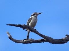 Red-backed Kingfisher (helmutnc) Tags: hg sweetfreedom specanimal hennysanimals dailynaturetnc12
