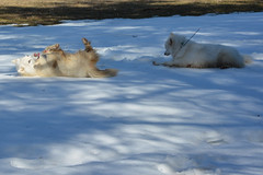 """Chase & Jag Imitating Each Other On A SNOW ROLL  31 • <a style=""""font-size:0.8em;"""" href=""""http://www.flickr.com/photos/96196263@N07/14029012090/"""" target=""""_blank"""">View on Flickr</a>"""