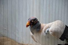 King Vulture (Sarcoramphus Papa) (Adventurer Dustin Holmes) Tags: bird birds aves vultures stlouiszoo vulture animalia kingvulture southamerican sarcoramphuspapa chordata centralamerican kingvultures