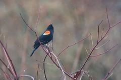 Red-winged black bird singing in the rain (tmo222) Tags: shower spring wildlife blackbird tc14x
