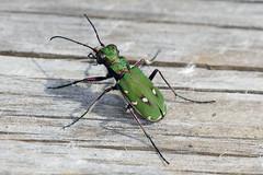Grønn sandjeger Cicindela campestris (Eivind Nielsen) Tags: campestris cicindela sandjeger