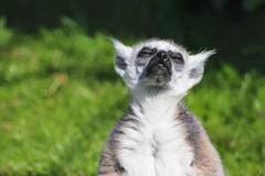 zoo lemur lemurcatta ystaddjurpark ringsvanslemur kattmaki