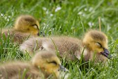 goslings (jojoannabanana) Tags: cute birds babies adorable fluffy goose babyanimals