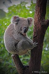 koala bear (wil_sul) Tags: infocus highquality 68will
