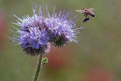 Chaumes en fleurs (Bedros du Loiret) Tags: france fleur plante champs culture vgtation chaume canon70d loiret45 fresnayleschaumes