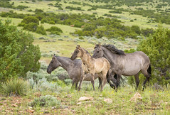 Run Like the Wind (Amy Hudechek Photography) Tags: wild horses baby spring montana sacred colt pryormountains bighorncanyonnationalrecreationarea spanishhorses sacrednature pryormountainwildhorserefuge amyhudechek
