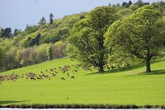 The Herd (stokerdean798) Tags: trees sky deer hillside herd codurham rabycastle