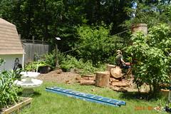 DSCN9982 (moccasinlanding) Tags: tree pine evergreen removal bole