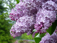 Lilacs blooming on a rainy day. (arrowlakelass) Tags: garden spring lilac blooming p1210837