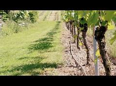 shadowplay (monika keller) Tags: shadow vineyard zuhause schatten weinberg schattenspiel vinestock