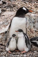 Pingino papa (Ignacio Ferre) Tags: bird penguin antarctica ave pjaro pingino antrtida gentoopenguin pygoscelispapua pinginopapa pinginojuanito