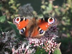 Tagpfauenauge (libra1054) Tags: insectos butterfly insects papillon mariposa farfalla insekten schmetterlinge insetti