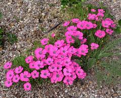 Dianthus 'Inshriach Dazzler'