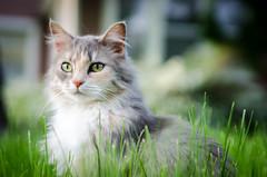 Cat's eyes (.Chris Lee) Tags: pet cats pets texture grass animal animals cat fur eyes nikon midwest iowa telephoto tamron housecat grinnell tamron2875mm nikondx 2875mm d7000 nikond7000