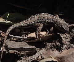 Sceloporus occidentalis bocourtii (Coast Range Fence Lizard) (Turtlerangler) Tags: california santacruz lizard sceloporus
