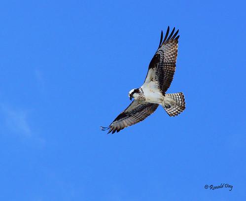 ~Flight of the Osprey~