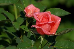 Rose (Ken Mickel) Tags: flowers roses flower nature rose garden flora