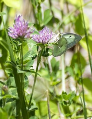 Sucking up the good stuff! (2) (Carolyn Lehrke) Tags: wild usa white nature field yellow butterfly purple small butterflies insects wv clover nikond3200 cloudedsulphur greenbriercounty ronceverte