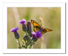 Sunlite Butterfly on Thistles (Travels with a dog and a Camera :)) Tags: park uk morning summer england plant southwest west macro art digital photoshop butterfly bristol pentax unitedkingdom thistle south july cc ii di if af 55 tamron xr ld lightroom 2014 18200mm k30 f3563 netham asperical justpentax pentaxart nethampark pentaxk30 tamronaf18200mmf3563xrdiiildaspericalifmacro photoshopcc2014 lightroom55