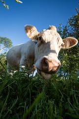 2014-jun-13_0002 (Daniel Nilsson, Agunnaryd) Tags: summer nature cow natur sommar kor