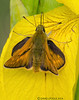Large Skipper Butterfly (Crazybittern1) Tags: butterflies insects largeskipper sigma70300mmmacro foulshawmoss nikond7000 cumbriawildlifetrust