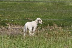 Das Kleinste Lmmchen (im_fluss) Tags: northsea lamb nordsee hallig lamm grde