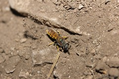 Avispa lobo (lambarets) Tags: naturaleza nature canon eos sand wolf wasp lobo dig tierra avispa 600d cavar