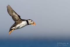 Flight of a puffin (georgetravels) Tags: ocean sea bird flying wings flight atlantic puffin