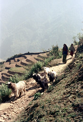 21-197 (ndpa / s. lundeen, archivist) Tags: nepal people mountain mountains color film animals rural 35mm landscape women 21 path nick terraces hills trail goats mountainside nepalese 1970s hillside 1972 livestock himalayas nepali dewolf terraced terracefarming nickdewolf photographbynickdewolf terracedfarmland reel21 hillyregion