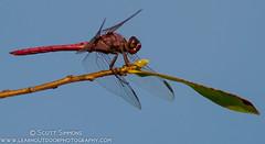 Roseate Skimmer (sjsimmons68) Tags: animals insectsandspiders roseateskimmer orthemisferruginea dragonflyanddamselfly fllocations csleepark