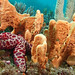 Monster in the forest - Mosaic seastar with sponges; Plectaster decanus