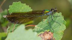Calopteryx virgo ♀ (Sinkha63) Tags: france macro nature animal female dragonfly wildlife ngc demoiselle martel damselfly fra libellule calopteryx odonata zygoptera midipyrénées calopterygidae beautifuldemoiselle calopteryxvirgo odonate caloptéryx caloptéryxvierge libellulavirgo annesorbes