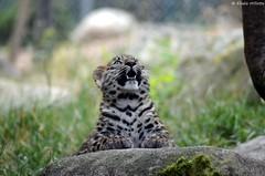 Liski (DoddieElodie) Tags: france zoo alsace carnivore mulhouse panthre