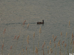 Distant (Jean S..) Tags: blue summer water grass duck day