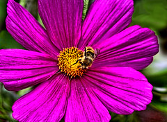 Cosmos and Bee (kaper777) Tags: plant flower green yellow garden insect fly petals wings flora sting bee honey pollen honeybee cosmos floret apoidea