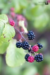 blackberries (ipellisa) Tags: red black verde green leaves fruit hojas 50mm rojo bush nikon negro vermell nikkor blackberries negre verd mores d300 fruto arbusto moras fulles zarzamoras arbust