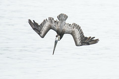 Brown Pelican Diving (marlin harms) Tags: pelican brownpelican pelecanusoccidentalis pelicandiving pelicandive