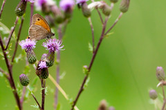 oranje zandoogje oranje zandoogje gatekeeper (kPepels) Tags: butterfly gatekeeper oranje vlinder zandoogje maasvallei