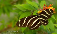 Zebra Longwing (sjsimmons68) Tags: animals butterfly favorites fav zebralongwing heliconiuscharithonia insectsandspiders orlandowetlandspark fllocations 2014favorites