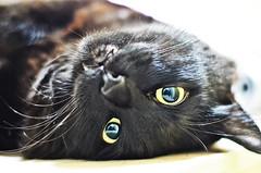 (fabiele.) Tags: pet love cat gatos preto gato paixo amo nego nego