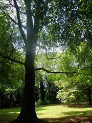 Silhouette Beech (LA Stanton) Tags: summer sunlight tree green sunshine silhouette shade shady beech beechtree beeches beechtrees